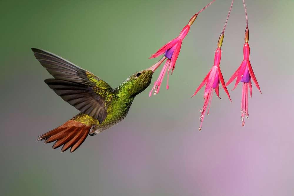 pasari colibri, colibri
